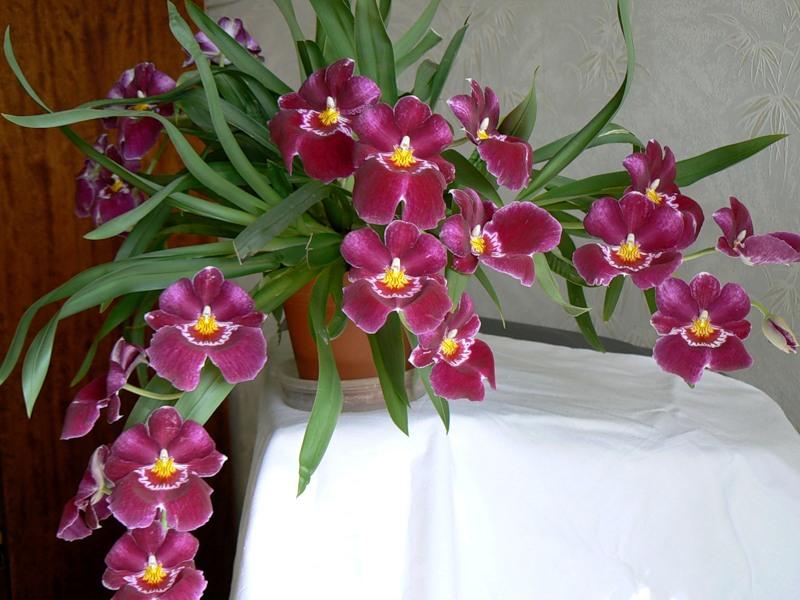 Разновидность орхидея в домашних условиях